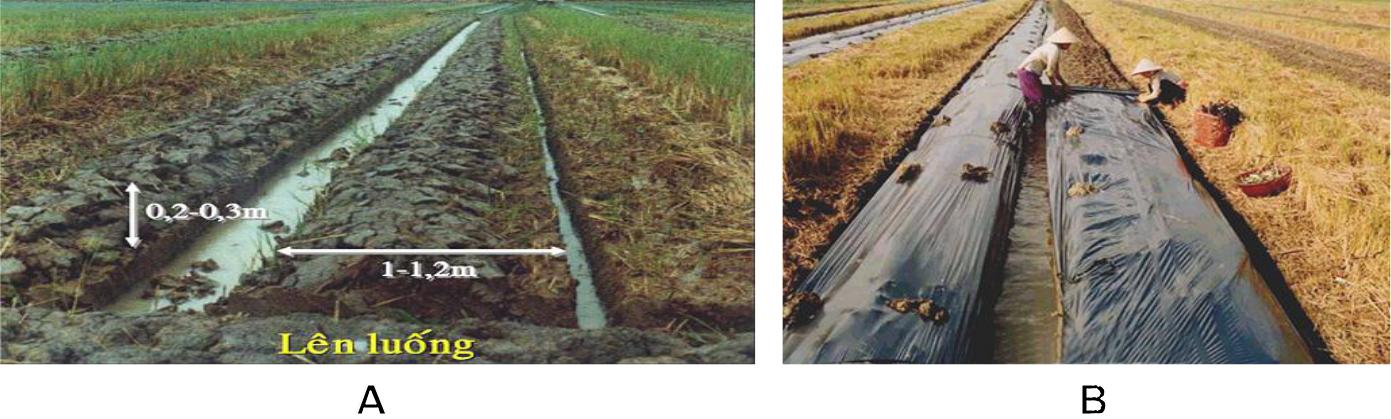 Hình 5: (A) Lên luống trồng dưa hấu; (B) Đậy màng phủ nông nghiệp cho dưa.