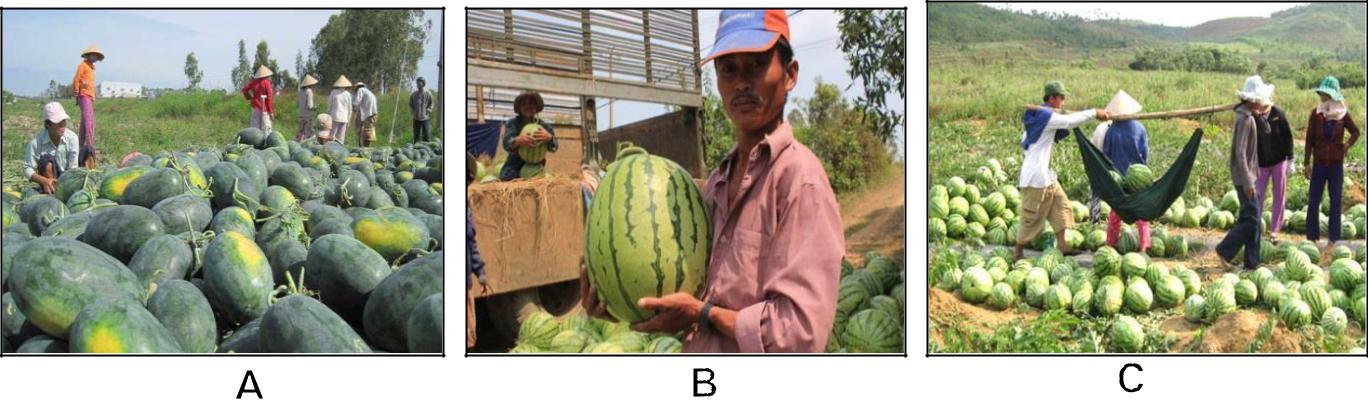 Hình 17: (A) Thu hoạch trái dưa; (B) Dưa hấu loại 1; (C) Thu hoạch và chuyển đi.