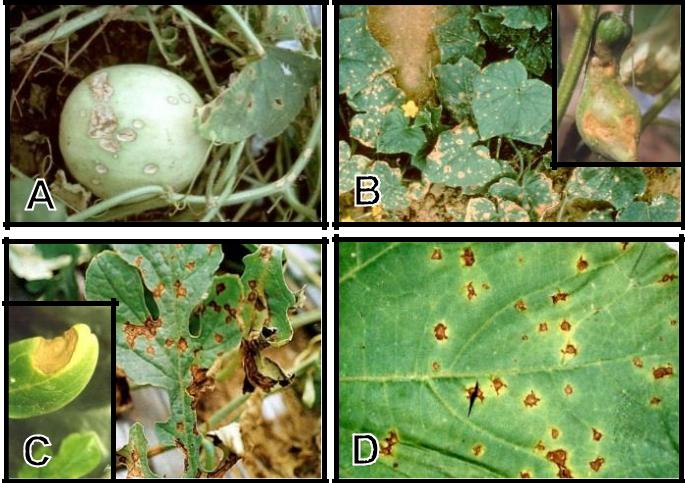 Hình 4: (A) Triệu chứng bệnh thán thư trên dưa lê; (B) Thán thư trên dưa leo; (C) Thán thư trên dưa hấu; (D) Vết thán thư điển hình trên dưa.