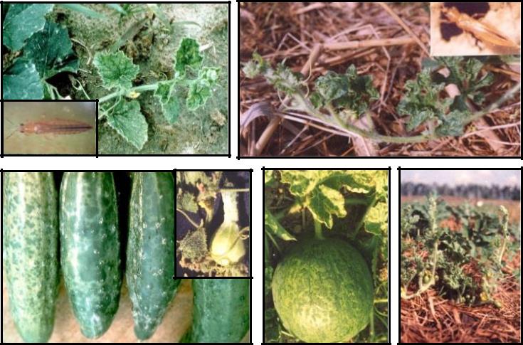 Hình 10:  Triệu chứng khảm (virus) trên thân lá và trái dưa hấu, dưa leo.