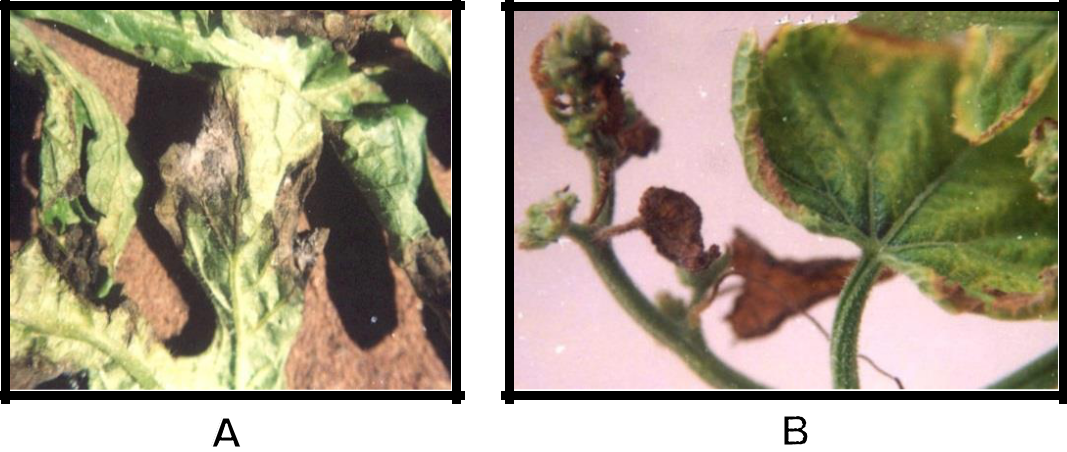 Hình 6:  (A); (B) Triệu chứng khô lá giữa thân trên dưa hấu và dưa leo.