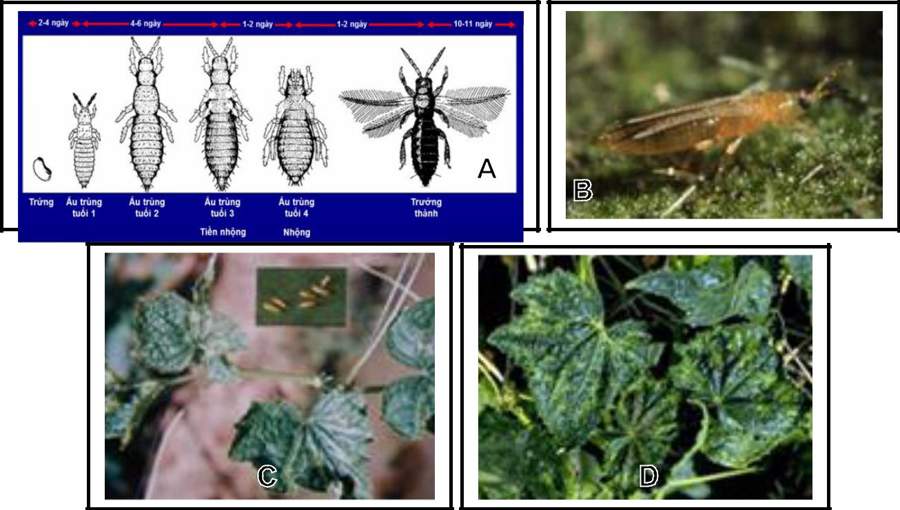 Hình 10: (A) Vòng đời sâu xám; (B) Bọ trĩ (trưởng thành); (C) Bọ trĩ và triệu chứng gây hại trên dưa leo; (D) Triệu chứng bệnh khảm hoa lá dưa leo.