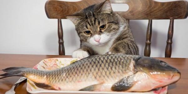 thực đơn cho mèo 4