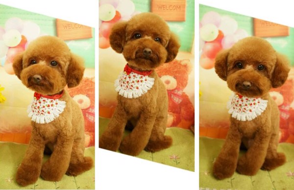cat-tia-long-cho-Poodle-7