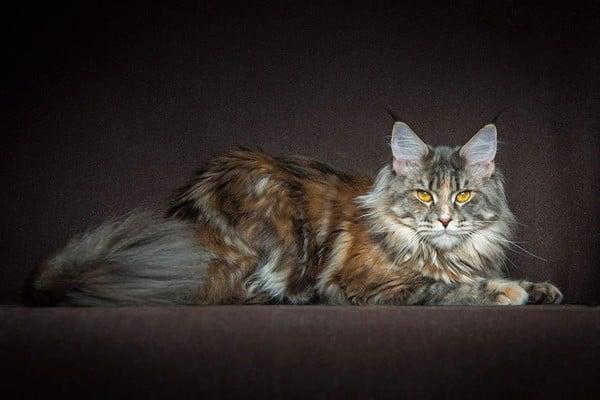 mèo maine coon 2