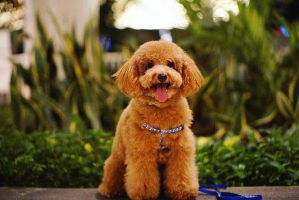 cat-tia-long-cho-Poodle-4