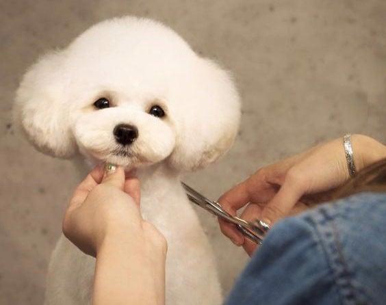 cat-tia-long-cho-Poodle-2