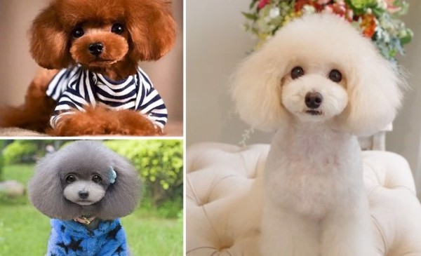 cat-tia-long-cho-Poodle-3