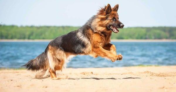 Chó Đức: Top 7 giống chó đến từ Đức đẹp nhất (2020)