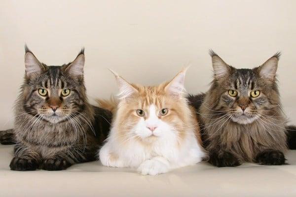 mèo maine coon 1