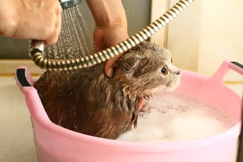cách tắm cho mèo 1