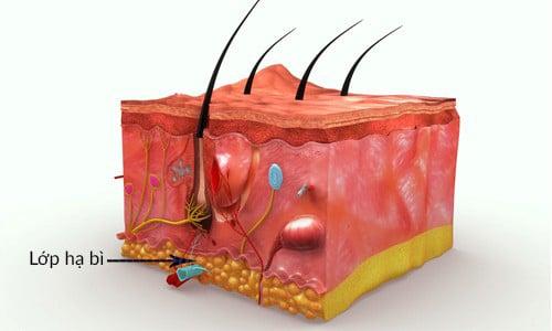 Lớp hạ bì là lớp cuối cùng của cấu trúc làn da