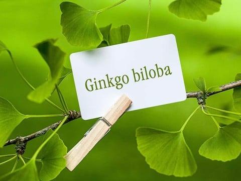 Ginkgo Biloba (Bạch quả) có tác dụng tuyệt vời đối với não bộ.