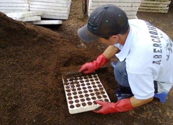 Cách vào giá thể trong khay xốp gieo hạt.
