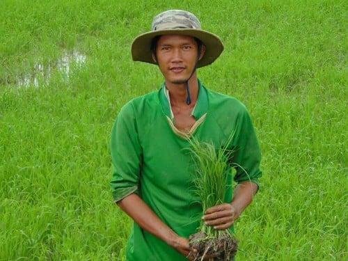 Gạo st24 - gạo Tâm Việt
