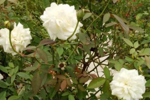 Những giống hoa hồng cổ không thể bỏ qua
