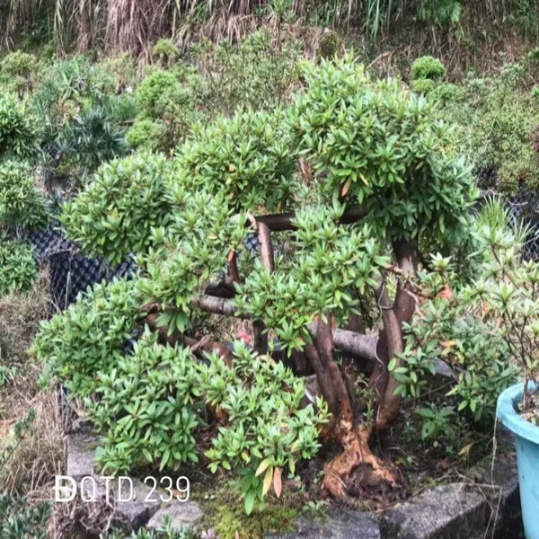 https://www.cayhangdoc.vn/products/ms240-do-quyen-bonsai-290