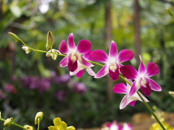 Biểu hiện phong lan thiếu phân vi lượng | Nông nghiệp phố