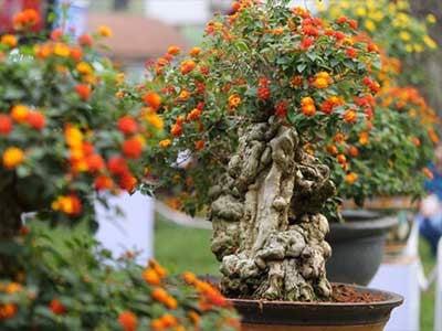 Trồng hoa ngũ sắc tại nhà ai cũng làm được | Nông Nghiệp Phố