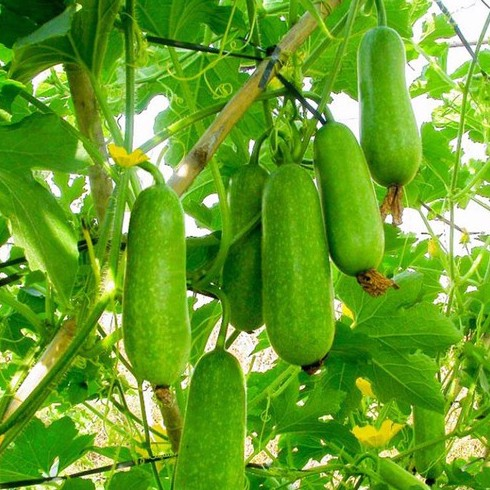 Top 5 loại rau ăn quả giải nhiệt ngày hè | Nông Nghiệp Phố