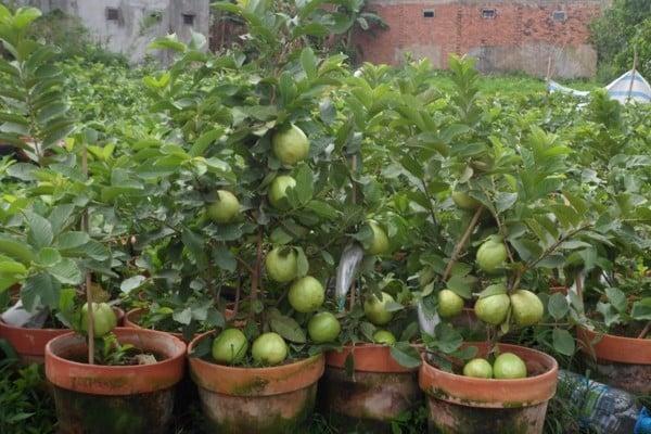 Những sai lầm trộn đất trồng cây ăn quả tại nhà | Nông Nghiệp Phố