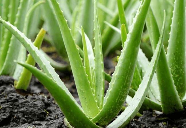 Nha Đam là loài cây duy nhất tại Việt Nam thuộc họ Aloe
