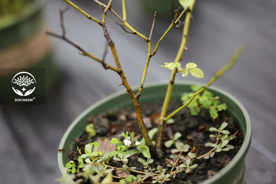 Khắc phục bệnh nấm đen thân trên hoa hồng bằng dầu Neem nguyên chất
