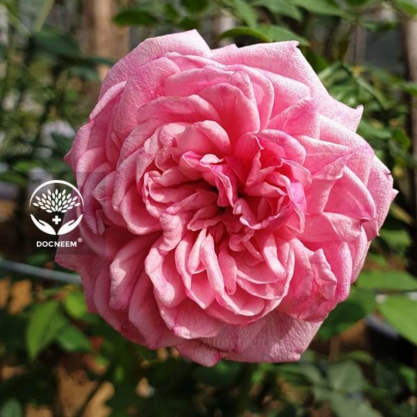 hồng cổ sapa