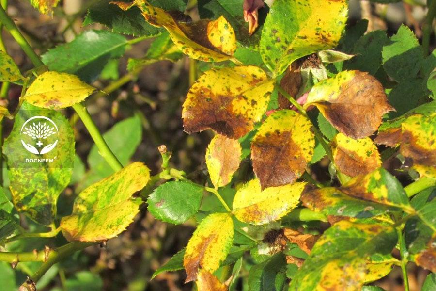 Lá hoa hồng chuyển màu nâu vàng do nắng