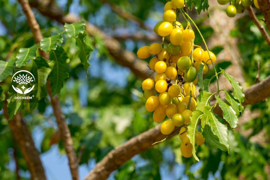 Câu sầu đâu hay còn gọi là cây dầu neem ấn độ