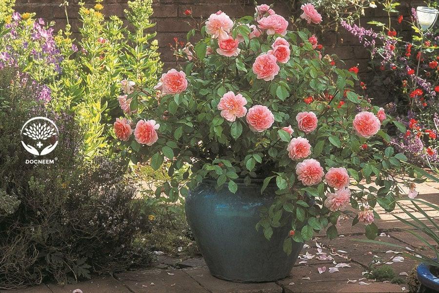 Phương pháp khắc phục hoa hồng bị nóng rễ ngày hè