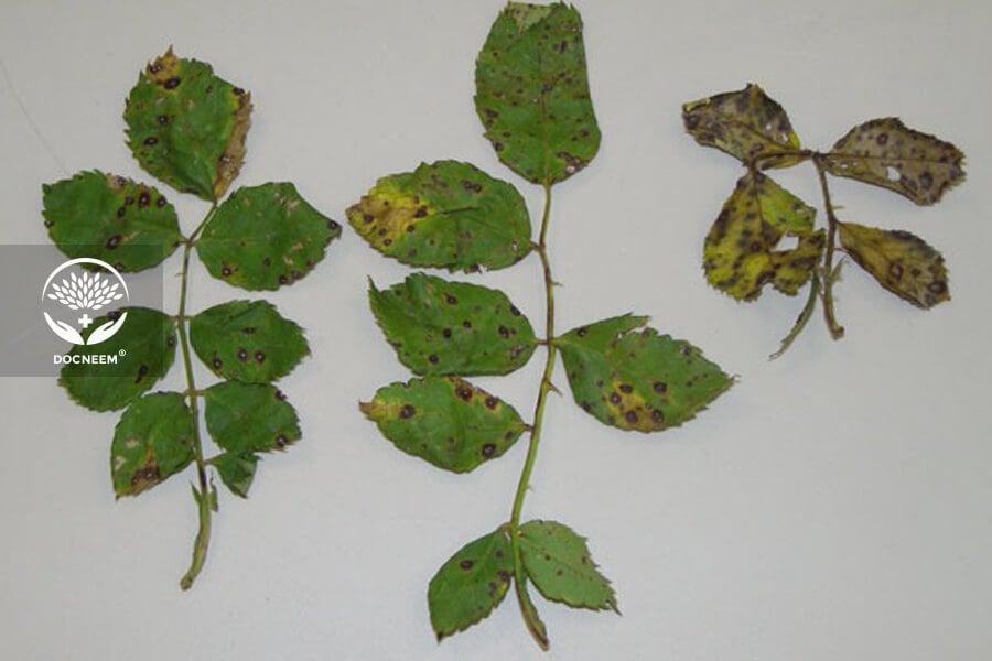 Cách nhận biết và điều trị bệnh thán thư trên hoa hồng bằng dầu Neem nguyên chất