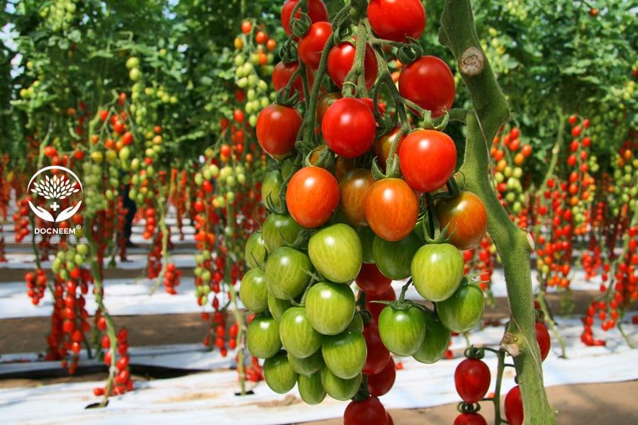 Dầu neem được dùng để phun trị bệnh cho cây ăn trái