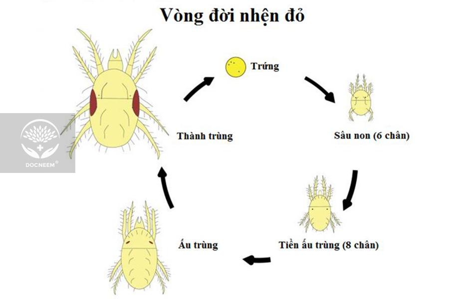 3-giai-doan-phat-trien-cua-nhen-do
