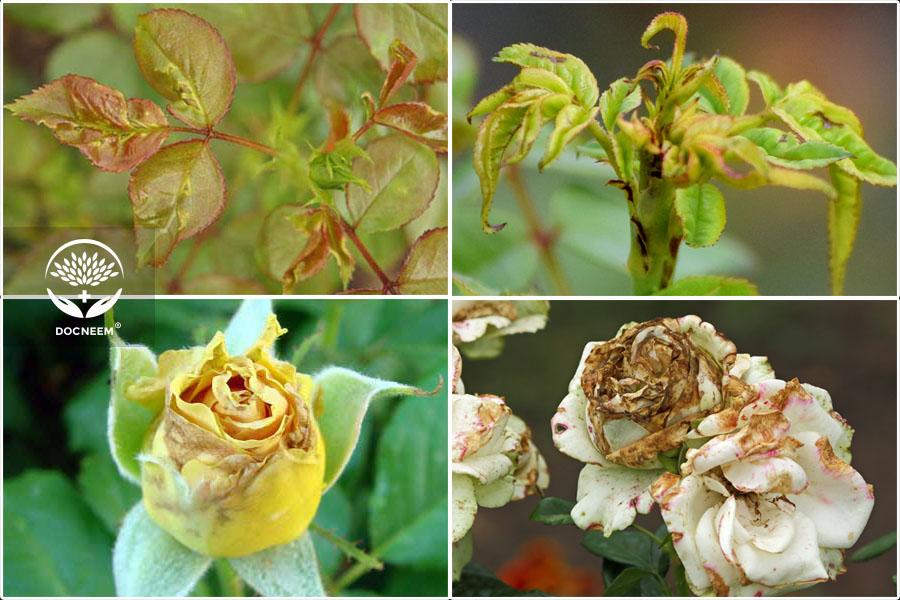 bọ trĩ hoa hồng