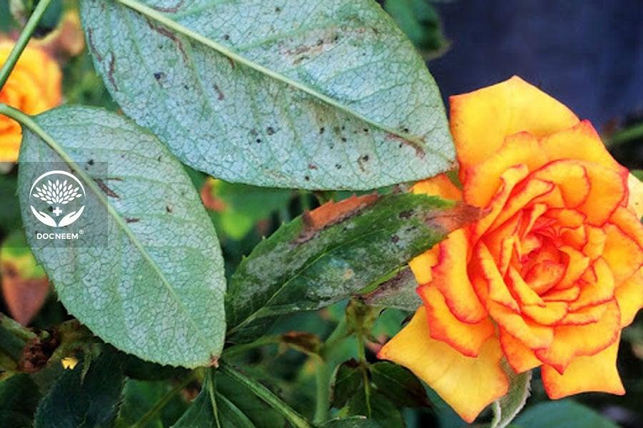 Nhện đỏ hút nhựa lá cây hoa hồng