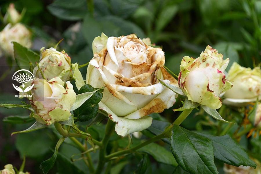 Hoa hồng bị đen thân, khô cành