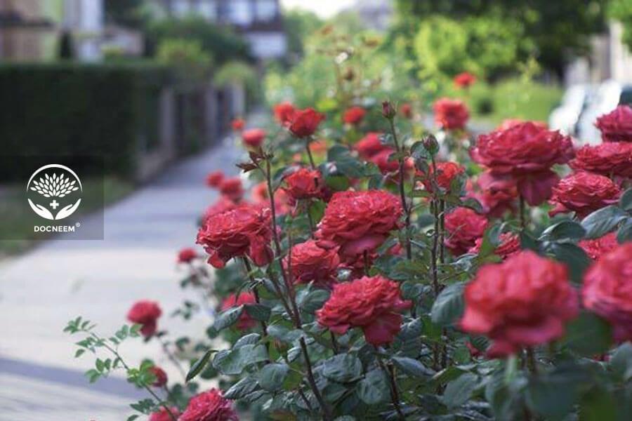 Các giống hoa hồng bụi tại Việt Nam