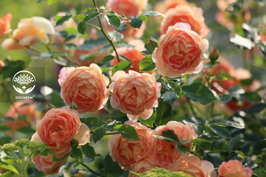 Hoa hồng Masora