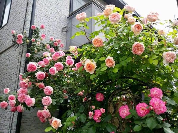 Chăm sóc hoa hồng tết
