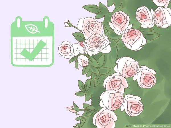 Hoa hồng leo, cách chăm sóc hoa hồng leo, trồng hoa hồng leo, hoa hồng leo là gì, trị bệnh hoa hồng leo, top hoa hồng leo, hoa hồng leo đẹp nhất, mua hồng leo