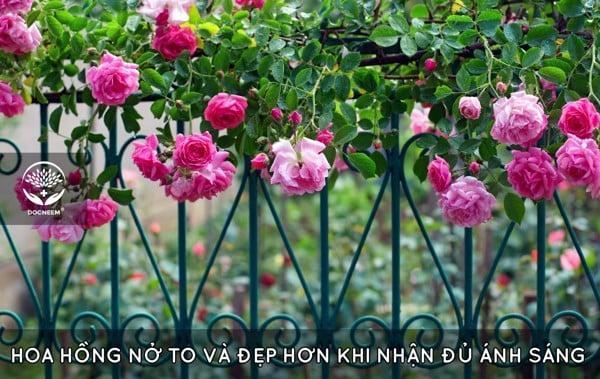 Hoa hồng thiếu nắng