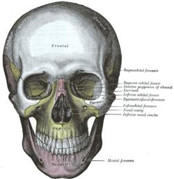 Giải phẫu xương trên khuôn mặt( xương mặt) facial skeleton