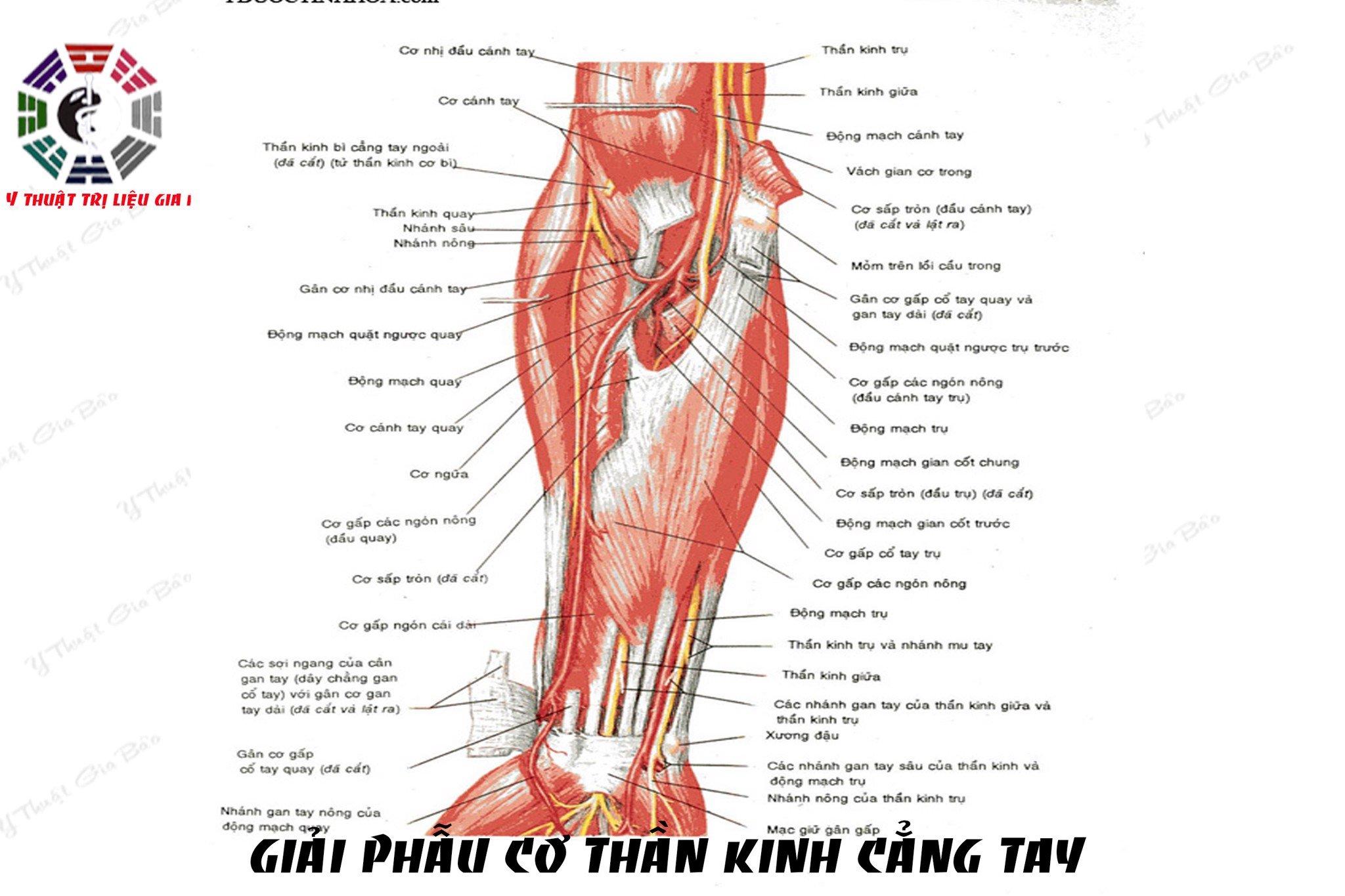 Giải phẫu chi tiết cơ cẳng tay