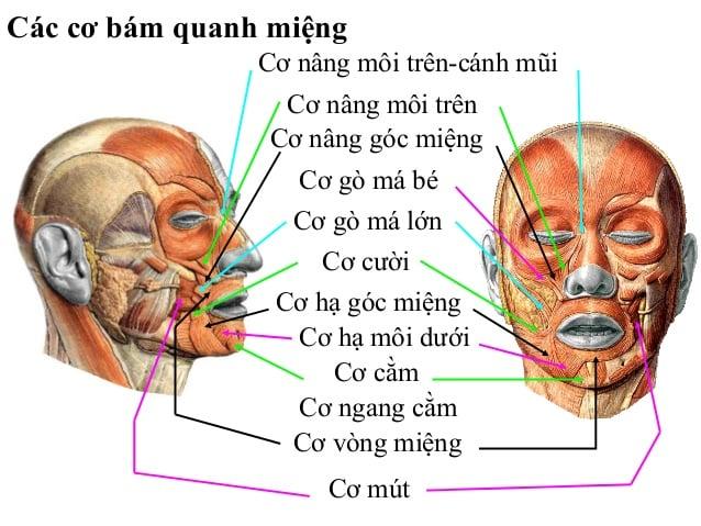 Giải phẫu chi tiết các cơ đầu mặt