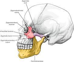 Giải phẫu chi tiết xương gò má Zygomatic