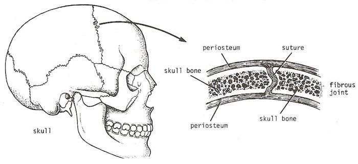 Giải phẫu khớp sợi liên kết xương mặt, xương sọ