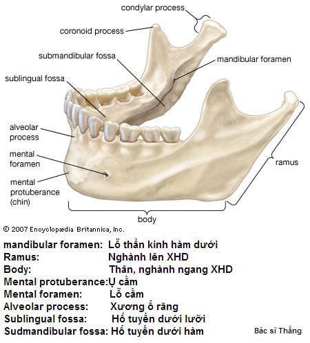 Giải phẫu chi tiết xương hàm dưới