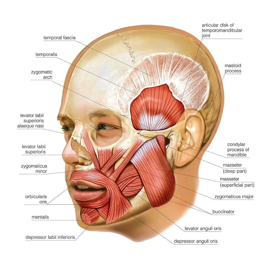 Giải phẫu các cơ nhai( masticatory muscles)