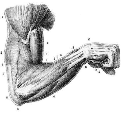 giải phẫu cơ cánh tay trị liệu gia bảo